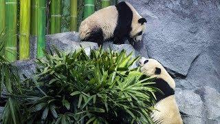 Four Giant Pandas Made Their Public Debut In Calgary, Canada