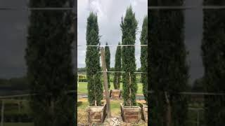The Tree Planters Presents Our Italian Cypress 12-14′