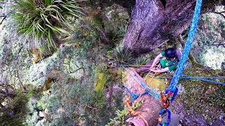 Nouvelle-Zélande, ascension de Pouakani, un des plus vieux Podocarpus totara.