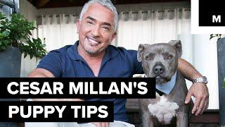 Cesar Millan's puppy tips