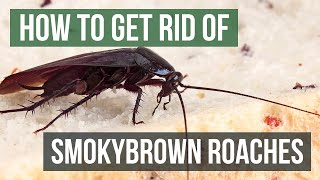 How to Get Rid of Smokybrown Cockroaches (Large Outdoor Flying Roaches)