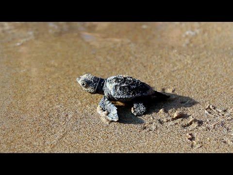 Σώζοντας μωρά-χελωνάκια στην Κεφαλονιά