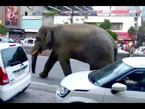 Wild elephant marches in the heart of Guwahati bringing busy GS Road to a standstill