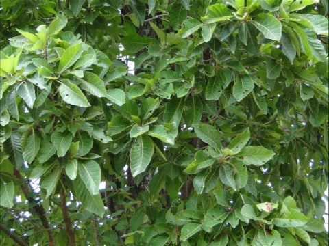 Sida cordifolia svorio metimui - Mano