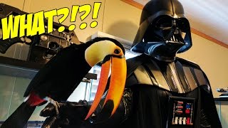 Pet Toucan meets Darth Vader for the first time! (Rogue One)