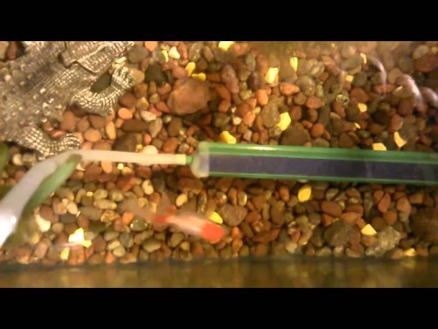 mi pecera de peces espadas,goldfish,platis,coridora,guppy y gurami
