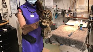 A Northern Spotted Owl Gets X-rays in the Wildlife Hospital