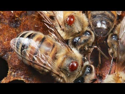 Пчеловодство. Борьба с клещом Varroa. Апидез полоски от клеща. Обработка пчёл от варроатоза.