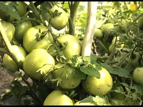 Удачный томат для открытого грунта: сорт Дубок