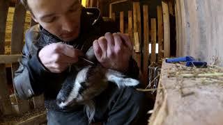 Обезроживание коз