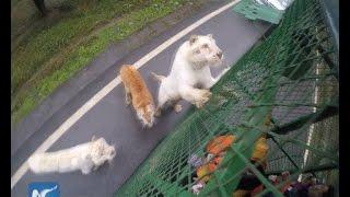 מעט צדק: בגן החיות הזה החיות משוחררות והמבקרים - בכלוב >>