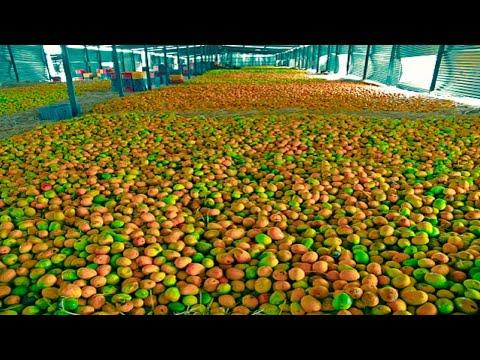 சுத்தமான சுகாதாரமான சுவையான மாம்பழ சாறு தயாரிப்பு  How Mango Juice Made in Factory?  Mango juice production from Mango