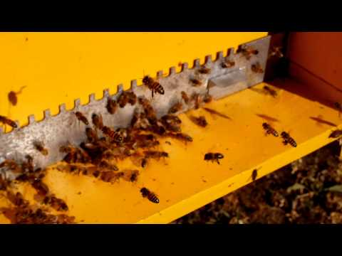 Tintura da Bee per prostatite
