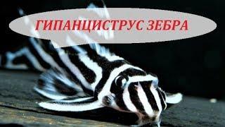 Гипанциструс Зебра L046 в аквариуме. Содержание, разведение, совместимость, чем кормить.