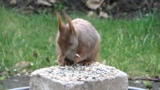 preview picture of video 'Misburg Fettes Eichhörnchen'