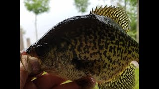 2017 Crappie Fishing - Best Crappie Bait Out There!
