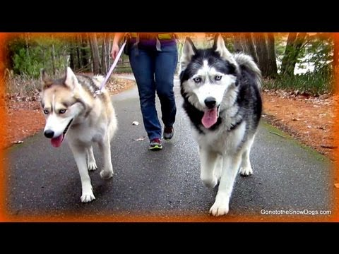 Hands Free Dog Walking Leash Belt Product Review