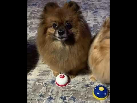 זוג כלבי פומרניאן עומדים בפני אתגר הפעמון