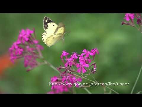 庭のモンキチョウ ムシトリナデシコに舞う