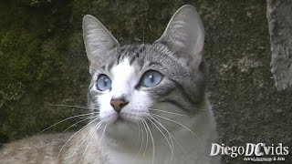 Cute tabby Cat with Blue eyes (Felidae - Felinae) Gato com olhos azuis
