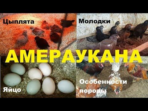 Амераукана - порода кур, несущая голубые яйца