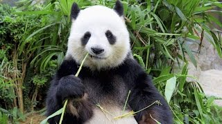 Why Do Pandas Really Want To Get Pregnant