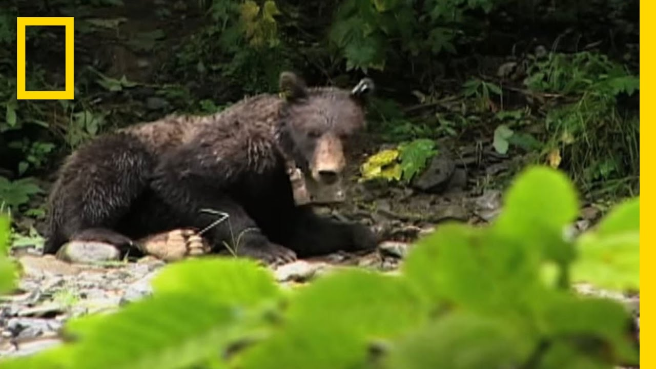 Belching Bear   National Geographic thumbnail
