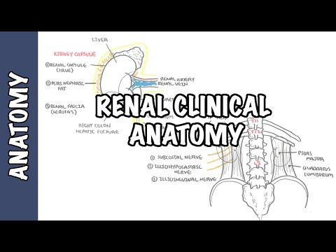 Clinical Anatomy – Kidneys (renal anatomy)