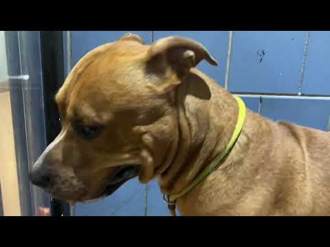 Tortoise, an adopted Pit Bull Terrier Mix in Chicago, IL_image-1