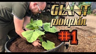 Giant Pumpkin: How to Plant for BIG results