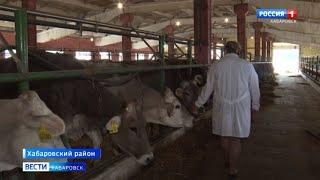 Бурая швицкая порода коров в хозяйстве фермеров Хабаровского района