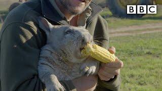 Feeding a farting wombat - BBC