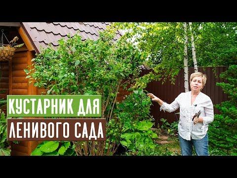 ЖАСМИН САДОВЫЙ или ЧУБУШНИК 🌸 Особенности выращивания, ухода и ОБРЕЗКА / Садовый гид