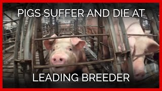 Pigs Suffer and Die at Leading Breeder