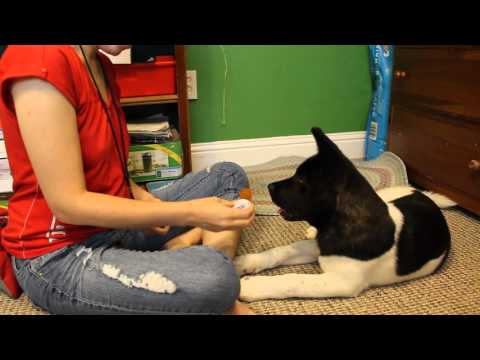 Service Dog Training Log | 3-month-old Akita puppy | Learning Retrieve pt. 01