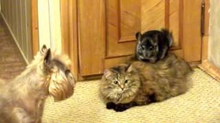 Шиншилла, кошка и собака  Кто кого =