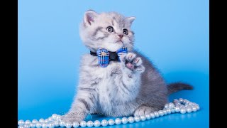Сладкий Никошка! Британские котята питомника Elite British. Элитные британцы.