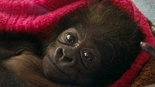 Cute Baby Gorilla Raised by Human Moms at Cincinnati Zoo