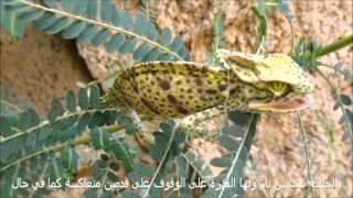 preview picture of video 'الحرباء العربية Chamaeleo arabicus'