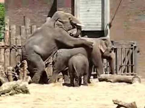 Порно слон 1