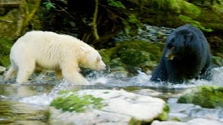 Mother Bear Protects Her Cubs From Bigger Black Bear | Natural World: Ghost Bear | BBC Earth