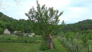 4 Year Peach Tree NEVER Pruned !!!