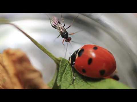 Makulayan ng sibuyas mula sa parasites