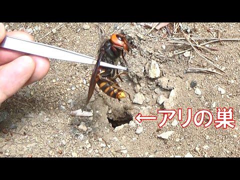 , title : 'アリの巣穴にオオスズメバチを詰めるとこうなる
