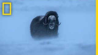 Watch Musk Ox Battle One of the Harshest Climates on the Planet | Short Film Showcase thumbnail