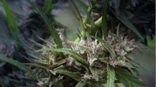 Strain Hunters Swaziland   Cannabis Details