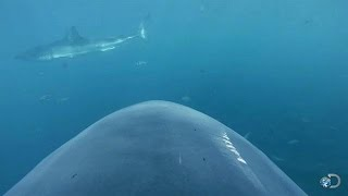 Camera Attached to Shark's Fin   Lair of the Mega Shark