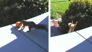 Squirrel Thief Caught on Camera Stealing Pumpkins off Front Porch