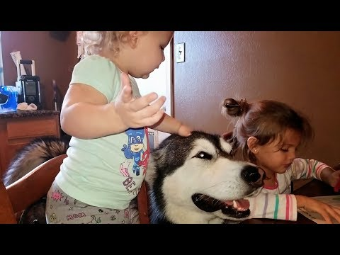 Tonka The Malamute Begging For Attention From His Nieces ❤️💟!