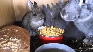 Чем можно и нужно кормить кроликов в зимнее время!!! Питание кормящих крольчих горохом!!!